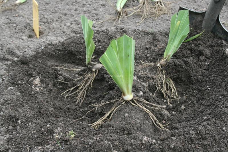 Leveling irises, spread out the roots on either side