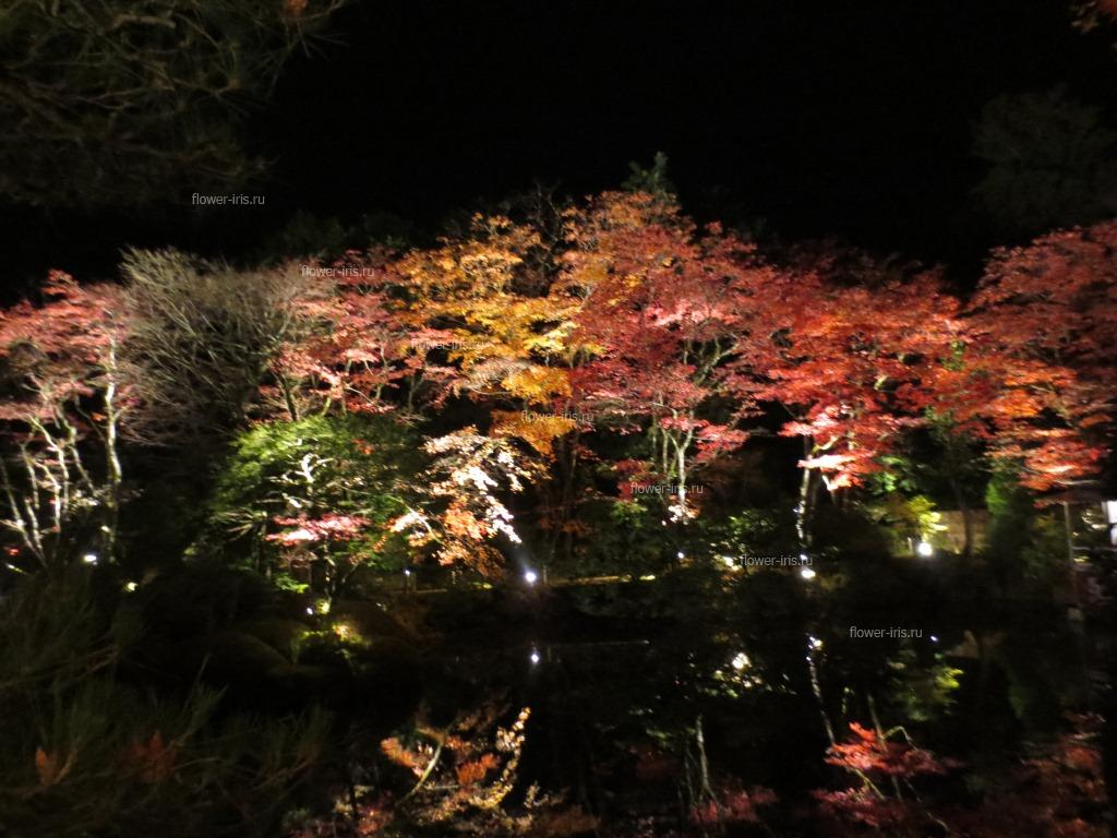 illumination of autumn maples